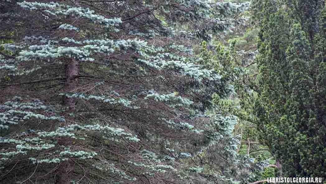 деревья в Ликани