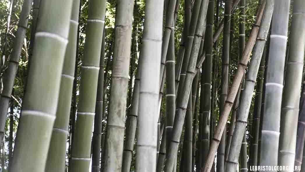 бамбук в Батуми