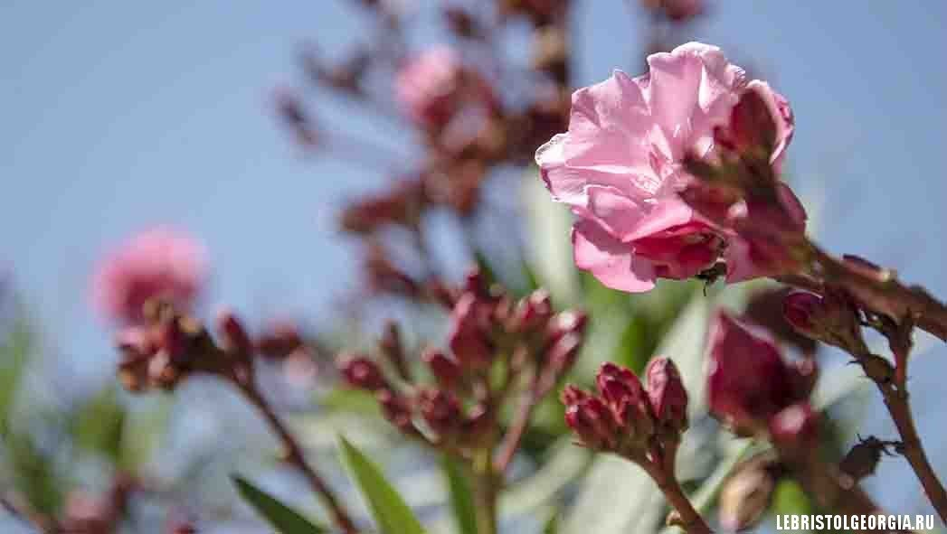 цветы Батуми