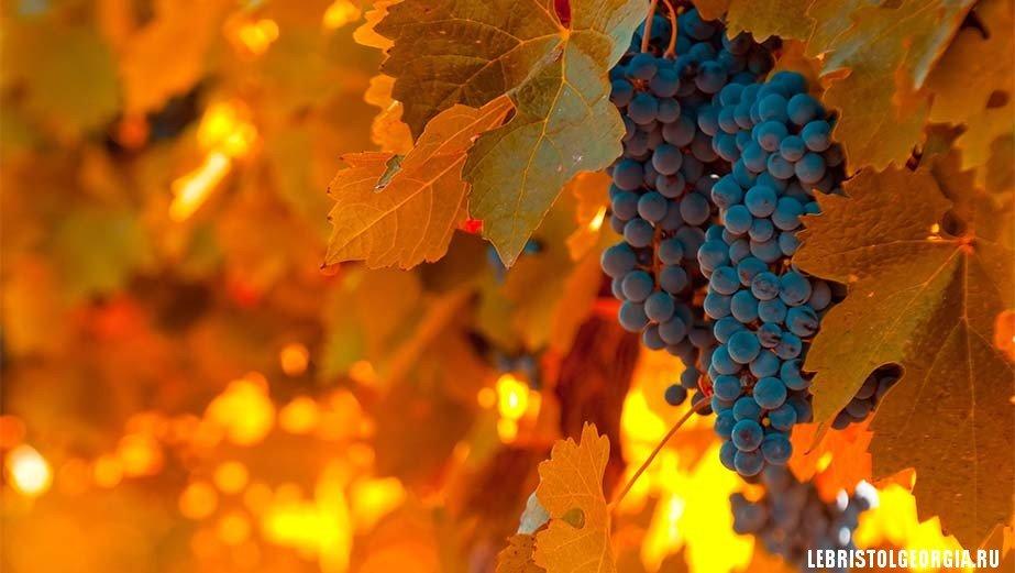 виноград в грузии